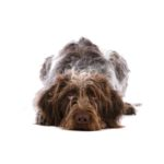 Petland Hilliard, OH German Wirehaired Pointer