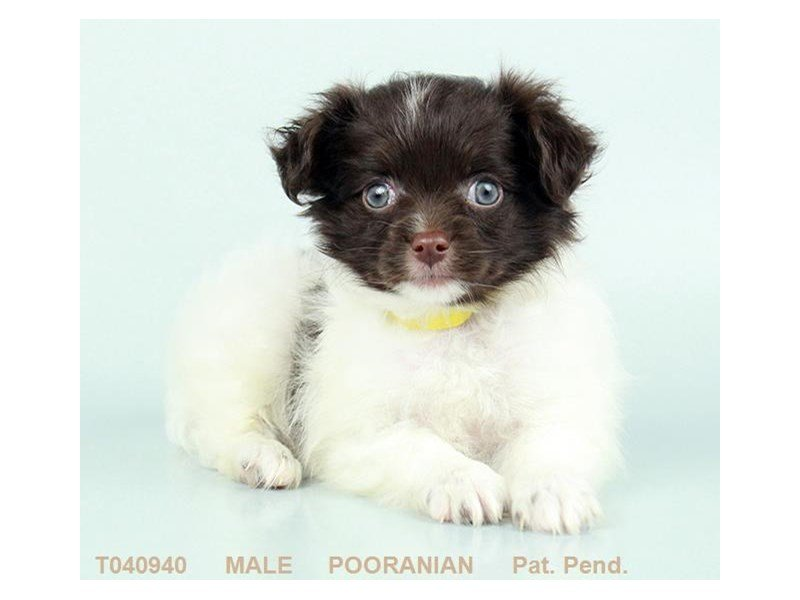 Puppy Photo Gallery - Visit Petland Hilliard, Ohio!