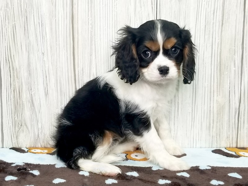 Cavalier King Charles Spaniel-Female-Black White / Tan-2581229-Petland Hilliard, OH