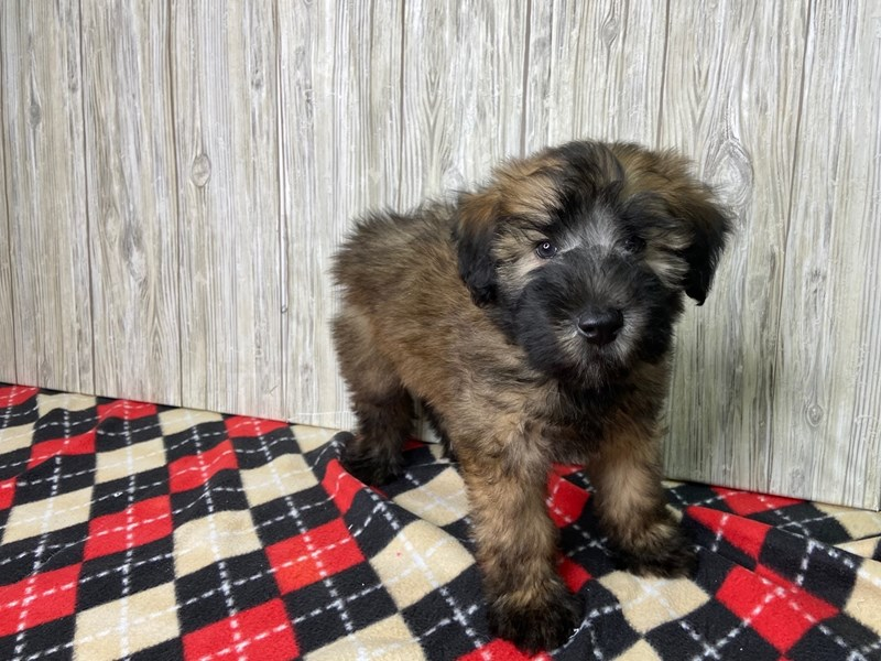 Soft Coated Wheaten Terrier-Male-Brown with black tips-2718992-Petland Hilliard, OH