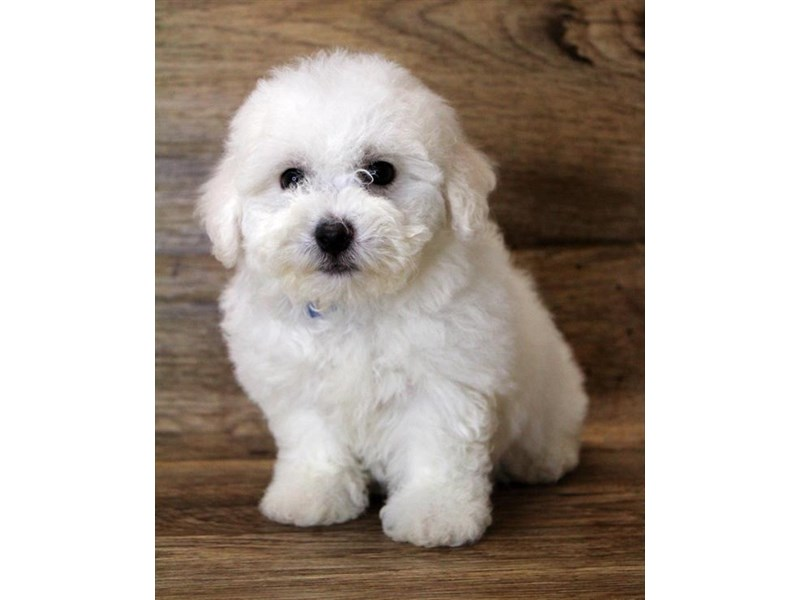 Bichon Frise-DOG-Female-White-2802601-Petland Hilliard, OH