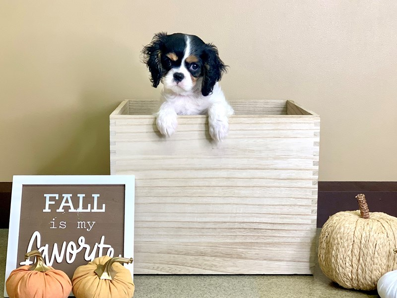 Cavalier King Charles Spaniel-Female-Black White / Tan-2869560-Petland Hilliard, OH